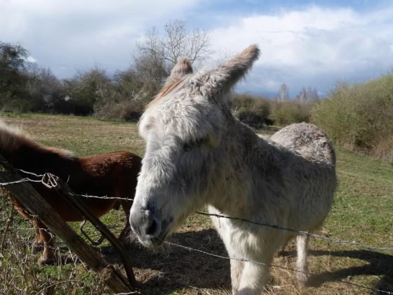 Ane et poney