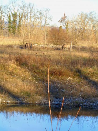 Les chevaux de l'ïle du Rhin
