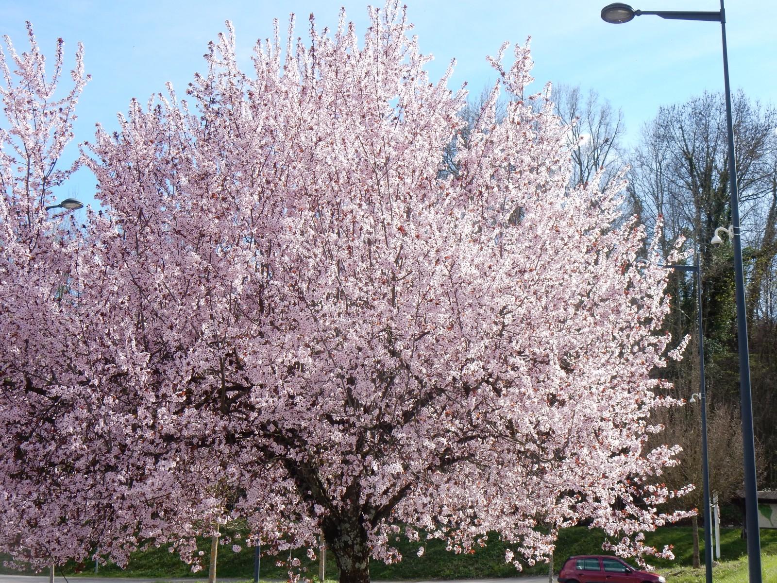 Photo cerisier en fleur - Comment faire fuir les oiseaux des cerisiers ...