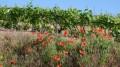 001-Vigne et coquelicots