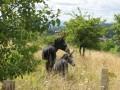 Anes dans la pelouse près du fort des Perches