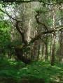 arbre : chemin forestier de quinquampoix
