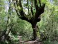 Arbre dans la forêt de Villefranque