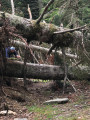 arbres déracinés 1 14 juillet 2021