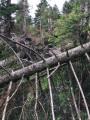 arbres déracinés 3