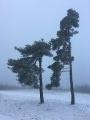arbres gelés