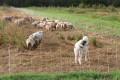 avec des moutons et un gardien, le chien Patou