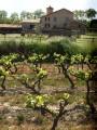 Dans le vignoble de Massillargues-Attuech