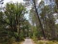 Belle forêt de pins