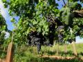 Le long de la Dordogne et à travers les vignes au départ de Branne