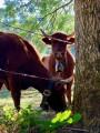 Belles vaches ...