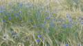 Bleuets dans un champ d'orge