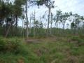 Bois de pins maritines
