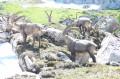 Bouquetins au Col de Pavis