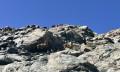 Bouquetins sur les roches moutonnées descendant sur la face Sud Est de la Grande Lance de Domène