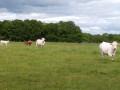 Vaches et leurs veaux