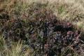 Buisson de myrtilles !
