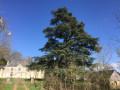 Cèdre remarquable à l'entrée du parc du château de Rapilly