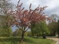Cerisier en fleur à proximité de l'Île Enchantée