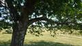 Cerisier jalonnant avec d'autres la petite montée au point de vue