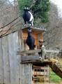 Des chèvres curieuses