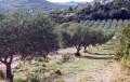 Aureille : à travers les oliveraies