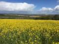 Champ de colza en fleur route des Longrais