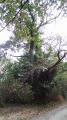 Chataignier pluri-centenaire
