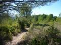 Chemin dans les pins