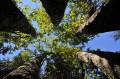 Chêne à 5 troncs soudés à la base, en contre-plongée
