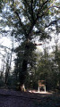 Chêne à l'Ermite
