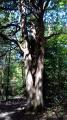 Chêne à trois futs
