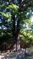 Chêne bifide