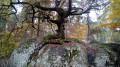Chêne bonsaï