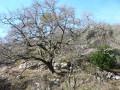 Chêne caractéristique de la zone calcaire