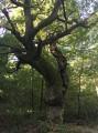 Chêne de la Commery
