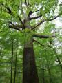 Chêne de Lécuyer