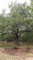 Chêne de Mistral