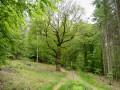 Chêne de Poleuhe