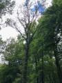 Chêne dépérissant