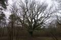Chêne des Chambrais