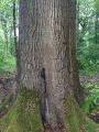Chêne remarquable de la route de Bellevue (Forêt de Marly)