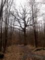 Chêne remarquable