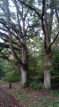 Chênes remarquables
