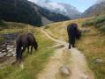 Chevaux de Mérens sur le chemin vers l'étang de Comte