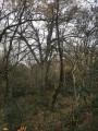 De beaux chênes en forêt de Saint Pee