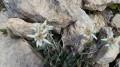 De belles Edelweiss