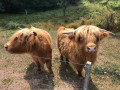 Bovins Highland Cattle