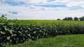 Des champs de tournesols à perte de vue .