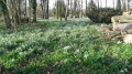 Des perce-neige à perte e vue dans les sous bois